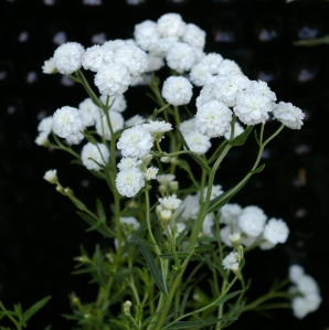 Achillea ptarmica  Angel s Breath