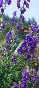 Aconitum  Tall Blue