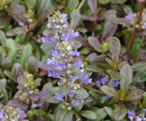 Ajuga reptans  CHOCOLATE CHIP  (Valfredda)