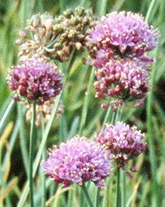Allium senescens ssp and  montanum var and  glaucum