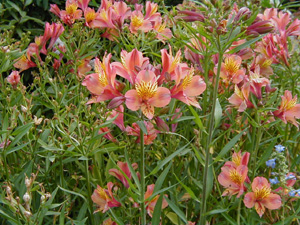 Alstroemeria  Butterscotch
