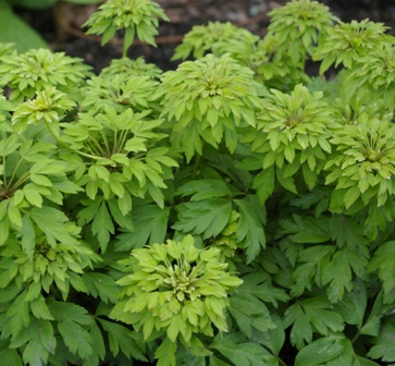 Anemone nemorosa  Green Finger
