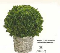 7 inch Preserved Celosia Ball in Basket Green