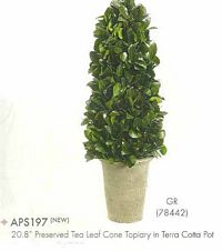 20 and 8 inch Preserved Tea Leaf Cone Topiary in Terra Cotta Pot Green