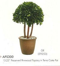 13 and 25 inch Preserved Boxwood Topiary in Terra Cotta Pot Green