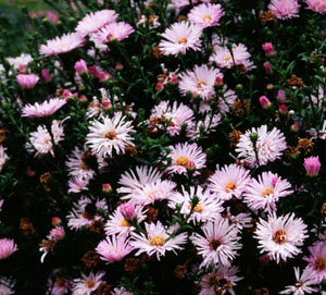 Aster  Chatterbox