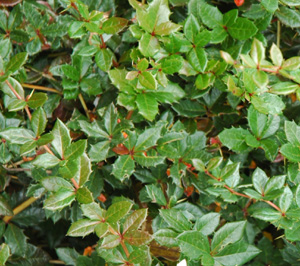 Berberis calliantha