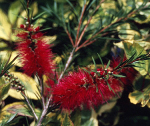 Callistemon  Woodlander s Red