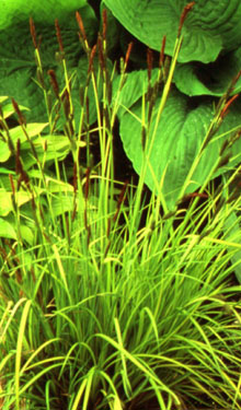 Carex elata  Aurea  (Bowles Golden)