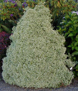 Chamaecyparis pisifera  Snow Reversion