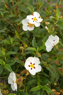 Cistus  Jessamy Beauty