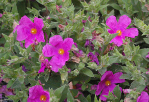 Cistus purpureus  Brilliancy