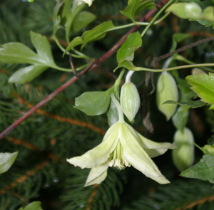 Clematis cirrhosa  Ourika Valley