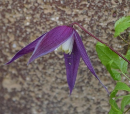 Clematis  Dark Dancer
