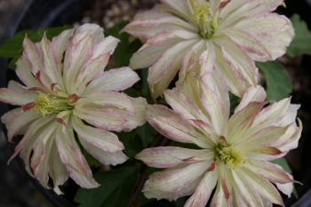 Clematis  Jenny Keay