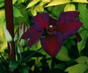 Clematis  Mrs and  N and  Thompson