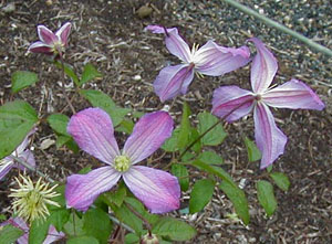 Clematis  Mrs and  T and  Lundell