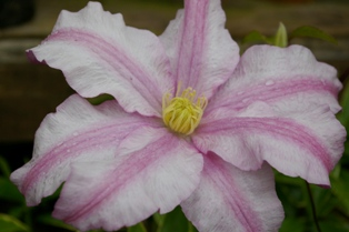 Clematis  VancouverTM Morning Mist