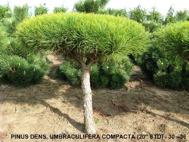 Pinus Dens and  Umbraculifera Compacta (20 inch   Std) (30 to 36 inch  )