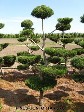 Pinus Contorta (5 to 6 feet )
