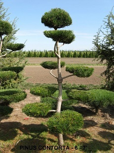 Pinus Contorta (6 to 7 feet )