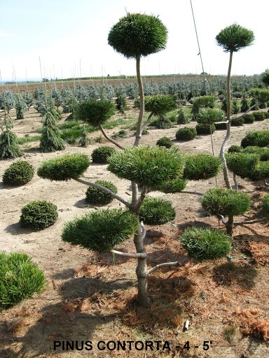 Pinus Contorta (4 to 5 feet )