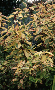 Cornus sericea  Hedgerows Gold