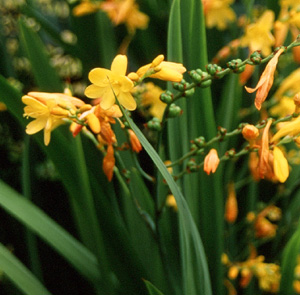 Crocosmia  Golden Fleece  ( Citronella )