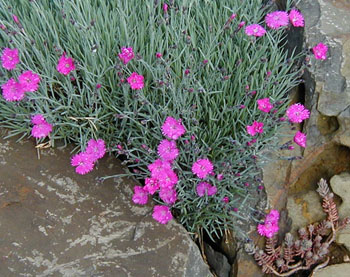 Dianthus  Feuerhexe  ( Fire Witch )