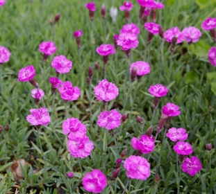 Dianthus  Little Gem