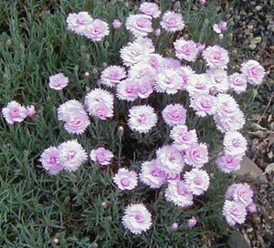 Dianthus  Pike s Pink