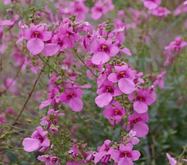 Diascia  Strawberry Sundae