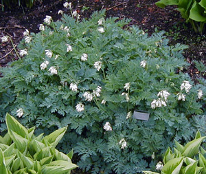 Dicentra  Langtrees