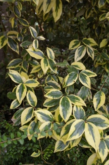 Eleagnus ebbingei  Gilt Edge  (x)