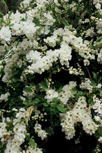 Exochorda macrantha)  The Bride