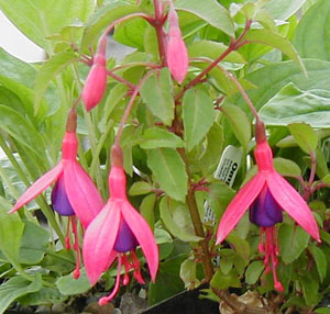 Fuchsia  Peter Pan