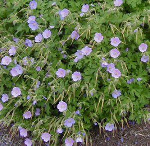 Geranium himalayense  Irish Blue