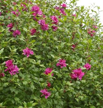 Hibiscus Syriacus Collie Mullens