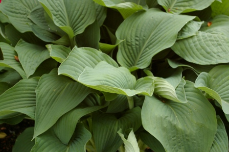Hosta  Birchwood Elegance