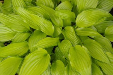 Hosta  Chinese Sunrise