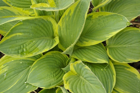 Hosta  Mount Hope