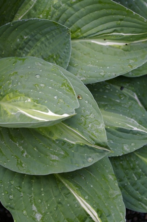 Hosta  Striptease
