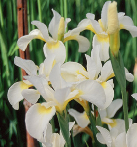 Iris siberica  Butter and Sugar