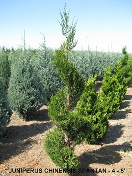 Juniperus Chinesis Spartan (4 to 5 feet)