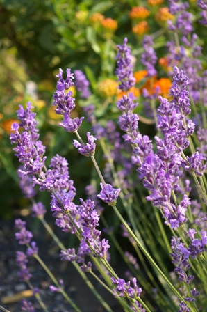 Lavandula  Fiona English