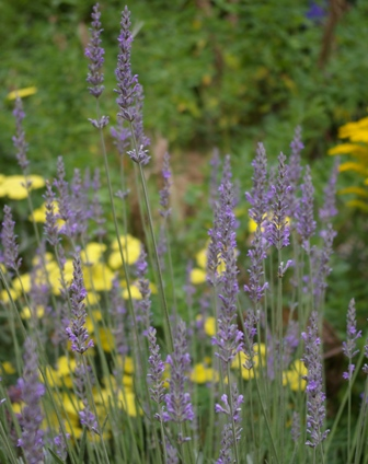 Lavandula  Fragrant Memories