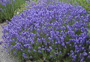 Lavandula  Twickel Purple