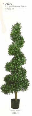 5 and 5 feet Spiral Boxwood Topiary in Plastic Pot Two Tone Green