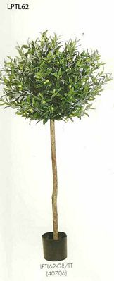 4 and 5 feet Natural Trunk Ball Olive Topiary with Olive in Pot Two Tone Green