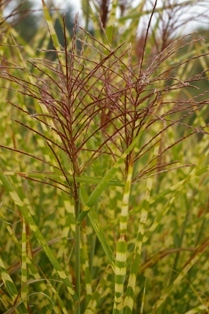 Miscanthus sinensis  Gold Breeze  PP22311